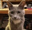 A picture of #AB00465: Cantante a Domestic Short Hair blue/white