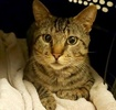 A picture of #AB00466: Leonardo a Domestic Short Hair brown tabby