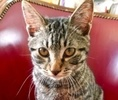 A picture of #AB00469: Mr Pippin a Domestic Short Hair brown tabby