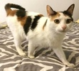 A picture of #AB00470: Gracie B a Domestic Short Hair calico