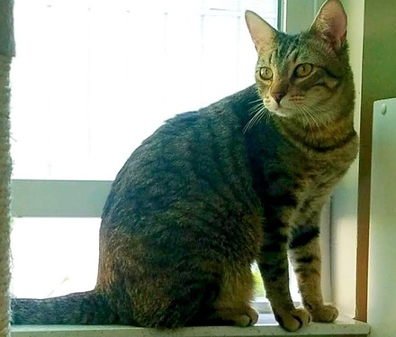 [picture of Cornelius, a Domestic Short Hair brown tabby\ cat]