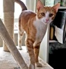 A picture of #AB00472: Squeaks a Domestic Short Hair orange tabby