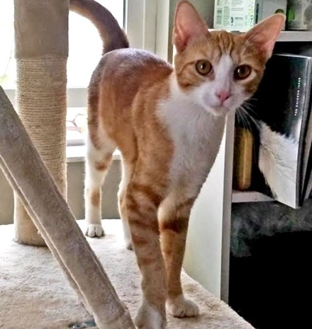 [picture of Squeaks, a Domestic Short Hair orange tabby\ cat]