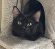 A picture of #AB00473: Mr Denzel a Domestic Short Hair black