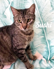 [another picture of Moma Sushi, a Domestic Short Hair brown tabby\ cat]