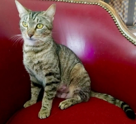 [picture of Moma Sushi, a Domestic Short Hair brown tabby cat]