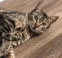 [picture of Moma Sushi, a Domestic Short Hair brown tabby\ cat]