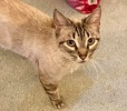 A picture of #AB00476: Ms Rose a Siamese Mix lynx point