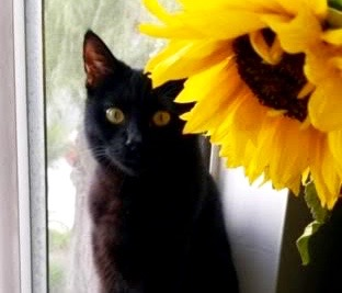[picture of Maleficent, a Domestic Short Hair black\ cat]
