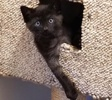 A picture of #AB00479: Gabriel a Domestic Short Hair black/silver