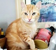 A picture of #AB00480: Butterscotch a Domestic Short Hair orange