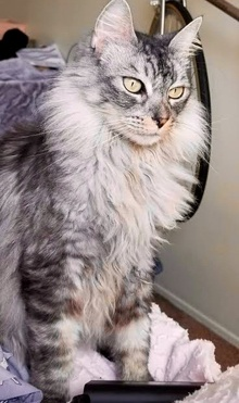 [another picture of Honey Bunny B, a Domestic Long Hair silver\ cat]