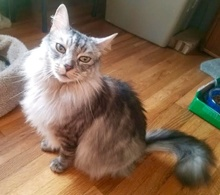 [picture of Honey Bunny B, a Domestic Long Hair silver\ cat]