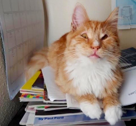 [picture of Flame, a Domestic Long Hair orange/white\ cat]