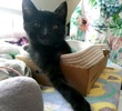 A picture of #AB00483: Sherman a Domestic Short Hair black
