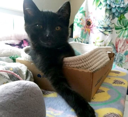 [picture of Sherman, a Domestic Short Hair black\ cat]
