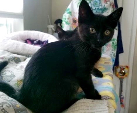 [picture of Poindexter, a Domestic Short Hair black\ cat]