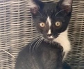 A picture of #AB00485: Scooter B a Domestic Short Hair black/white