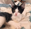 A picture of #AB00486: Robyn B a Domestic Short Hair black/white