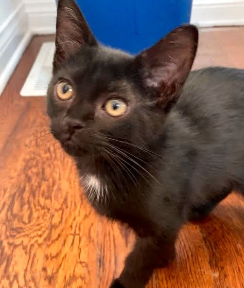 [picture of Dahlia B, a Domestic Short Hair black\ cat]
