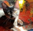 A picture of #AB00488: Frida B a Domestic Short Hair black