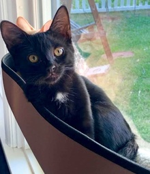 [another picture of Frida B, a Domestic Short Hair black\ cat]