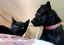 [another picture of Wallace B, a Domestic Short Hair black\ cat]