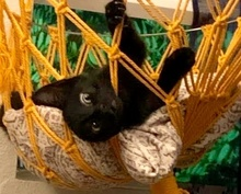 [picture of Wallace B, a Domestic Short Hair black\ cat]