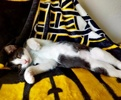 A picture of #AB00491: Echo a Domestic Short Hair black/white
