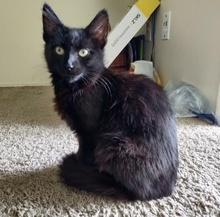[picture of Majestic, a Domestic Long Hair black\ cat]