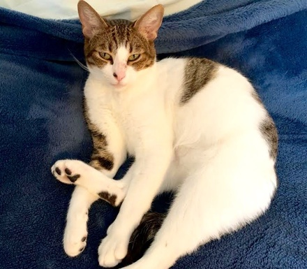 [picture of Amber, a Domestic Short Hair browm tabby/white\ cat]