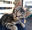 A picture of #AB00495: Scout a Domestic Short Hair brown tabby