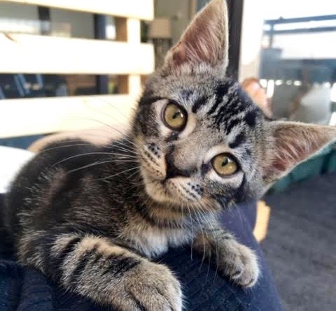 [picture of Scout, a Domestic Short Hair brown tabby\ cat]