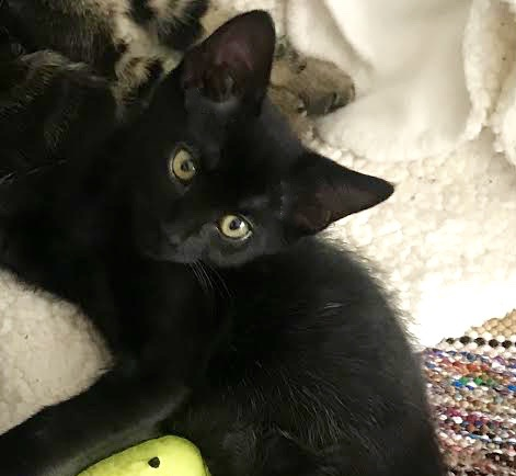 [picture of Sailor, a Domestic Short Hair black\ cat]