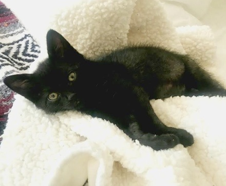 [picture of Billy B, a Domestic Short Hair black\ cat]