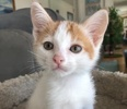 A picture of #AB00499: O'Connell a Domestic Short Hair white/ornge