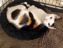 [another picture of Harley B, a Domestic Short Hair calico\ cat]