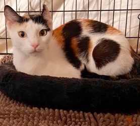 [picture of Harley B, a Domestic Short Hair calico cat]