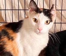 [picture of Harley B, a Domestic Short Hair calico\ cat]