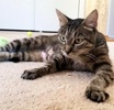 A picture of #AB00501: Sundae a Domestic Short Hair brown tabby