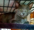 A picture of #AB00503: Stealth a Domestic Short Hair blue