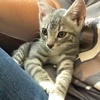 A picture of #AB00504: Silver a Domestic Short Hair silver/white
