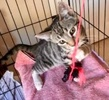 A picture of #AB00505: Baby Neo a Domestic Short Hair brown tabby/white