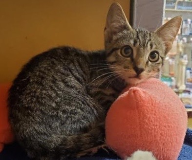 [picture of Matise, a Domestic Short Hair brown tabby/white\ cat]