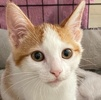 A picture of #AB00507: Graham Cracker a Domestic Short Hair white/irange