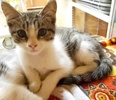 A picture of #AB00508: Ham a Domestic Short Hair tabby/white