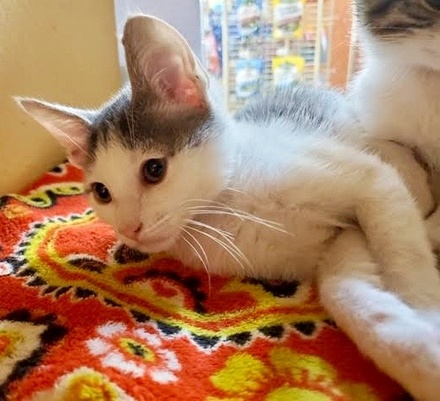 [picture of Steel, a Domestic Short Hair white/tabby\ cat]