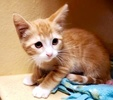 A picture of #AB00510: Maryann a Domestic Short Hair orange/white