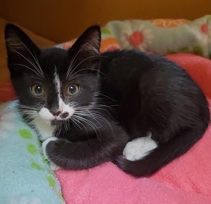 [picture of Skipper, a Domestic Short Hair black/white\ cat]