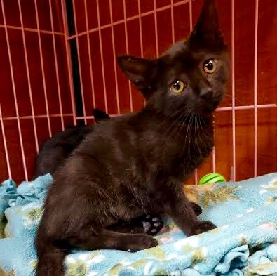 [picture of Acrobat, a Domestic Short Hair black\ cat]